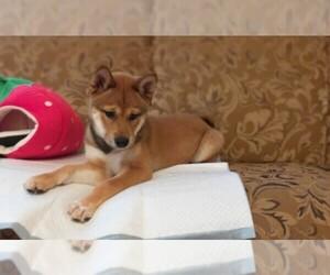 Shiba Inu Dog for Adoption in LOS ANGELES, California USA