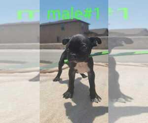 Boston Terrier Puppy for Sale in EL PASO, Texas USA