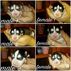 Siberian Husky Puppy for sale in SEMINOLE, OK, USA