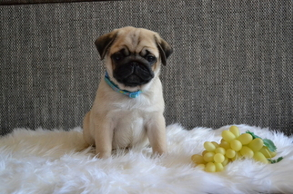 Pug Puppy for sale in Narva, Ida-Virumaa, Estonia