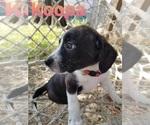 Puppy 2 Boston Terrier-Unknown Mix