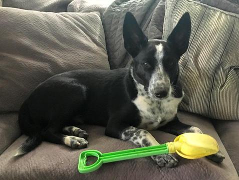 Australian Cattle Dog-Mc Nab Mix dog
