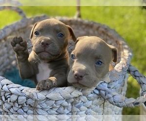 American Pit Bull Terrier Puppy for sale in OVERLAND, KS, USA