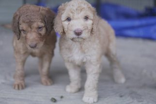 Komondor-Poodle (Standard) Mix Puppy For Sale in BLACK MOUNTAIN, NC, USA
