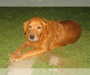 Mother of the Golden Retriever puppies born on 08/31/2020