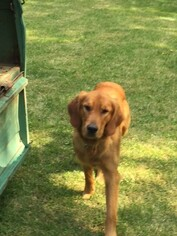Father of the Golden Retriever puppies born on 01/30/2019