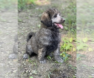 Poodle (Standard) Puppy for sale in PLEASANT HILL, MO, USA