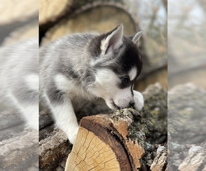 Alaskan Klee Kai-Pomsky Mix Puppy for sale in STAPLES, MN, USA