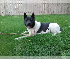 Akita Puppy for sale in FAIRFIELD, MT, USA