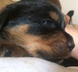 View Ad Rottweiler Puppy For Sale Near New York Binghamton Usa