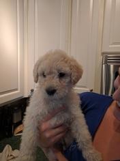 Labradoodle Puppy For Sale in ANDERSON, CA