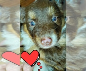 Miniature Australian Shepherd Puppy for sale in ARLINGTON, TX, USA