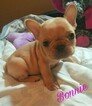 French Bulldog Puppy For Sale in BELLMAWR, NJ, USA