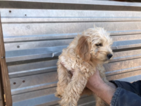 Miniature Labradoodle Puppy For Sale in AUSTIN, TX, USA