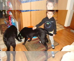Labrador Retriever Puppy For Sale in BARABOO, WI, USA