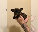 Small Photo #9 French Bulldog Puppy For Sale in SAN DIEGO, CA, USA