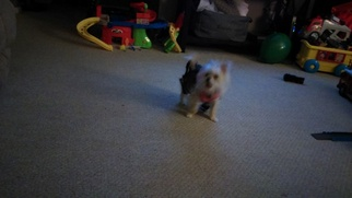 Morkie Puppy For Sale in IOLA, KS