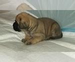 Small #29 Mastiff