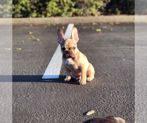 French Bulldog Puppy for Sale in POTTER VALLEY, California USA
