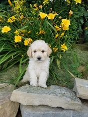 Golden Retriever Puppy For Sale in MIFFLIN, PA, USA
