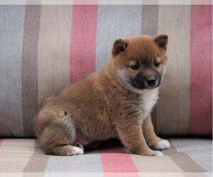 Shiba Inu Puppy for sale in FREDERICKSBG, OH, USA