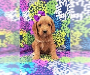 Cock-A-Poo Puppy for sale in LANCASTER, PA, USA