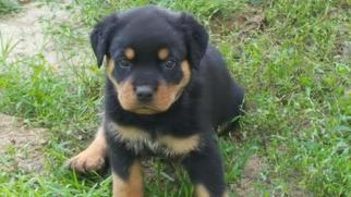 Rottweiler Puppy for sale in FREDERICKSBURG, VA, USA