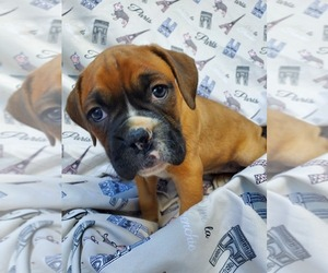 Boxer Puppy for Sale in GOLDEN, Missouri USA