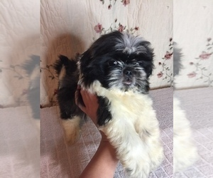 Peke-A-Tese-Shih Tzu Mix Puppy for Sale in PALATKA, Florida USA
