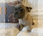 Small #19 French Bulldog