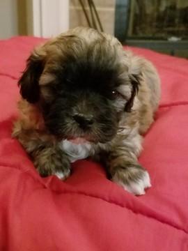 Zuchon puppy