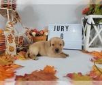 Puppy 7 Labrador Retriever