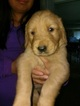 Golden Retriever Puppy For Sale in RIVERSIDE, CA