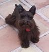 Schnauzer (Miniature) Puppy For Sale in PALM DESERT, CA, USA