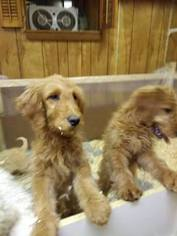 Goldendoodle Puppy For Sale in WEST WARWICK, RI, USA