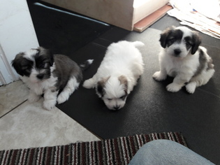Coton de Tulear Puppy For Sale in SALT LAKE CITY, UT