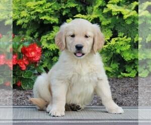 Golden Retriever Dog for Adoption in GORDONVILLE, Pennsylvania USA
