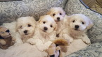 Bichon Frise Puppy For Sale in SNOHOMISH, WA