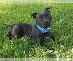 Small #5 Staffordshire Bull Terrier