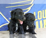 Small Photo #7 Double Doodle Puppy For Sale in FREDERICKTOWN, MO, USA