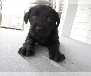 Labradoodle Puppy for sale in BATTLE CREEK, MI, USA