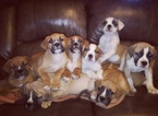 Olde English Bulldogge Puppy For Sale in WENTZVILLE, MO