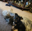 Yorkie-Poo-Yorkiepoo Mix Puppy For Sale in ARLINGTON, TX, USA