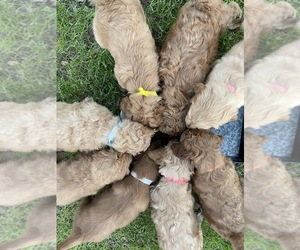 Goldendoodle Puppy for sale in MARBLE FALLS, TX, USA