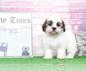 Coton Tzu Puppy for sale in BEL AIR, MD, USA