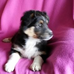 Miniature Australian Shepherd Puppy For Sale in DES MOINES, IA