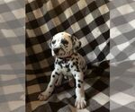 Dalmatian Puppy For Sale in JACKSONVILLE, FL, USA