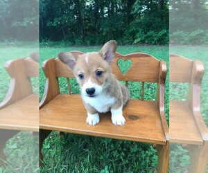 Pembroke Welsh Corgi Puppy for Sale in NIANGUA, Missouri USA