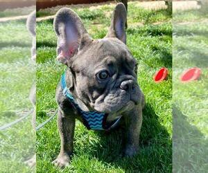 French Bulldog Puppy for sale in PALO ALTO, CA, USA