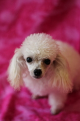 AKC WHITE TEACUP POODLE PUPPY